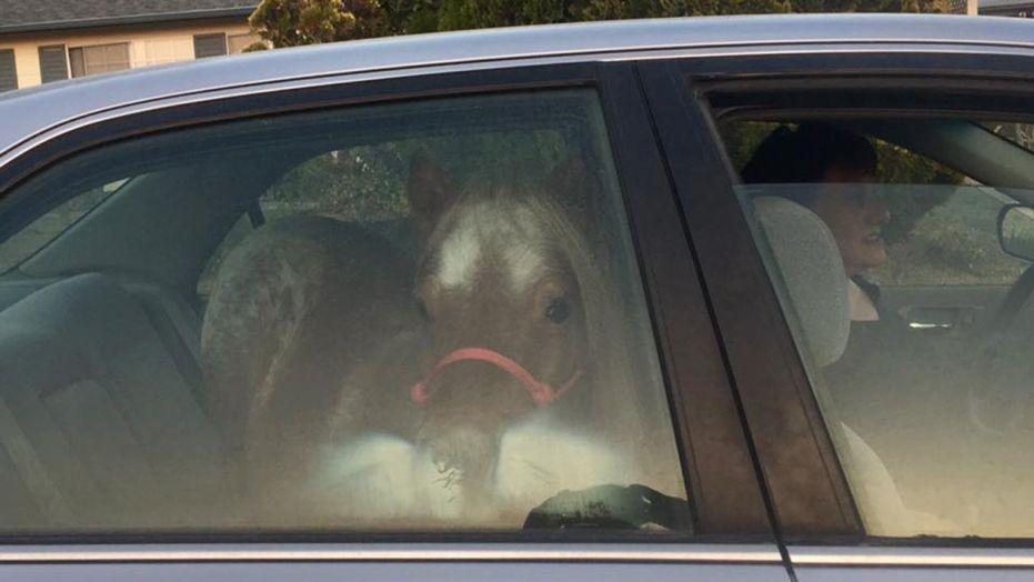 Horse in Car California Wildfires