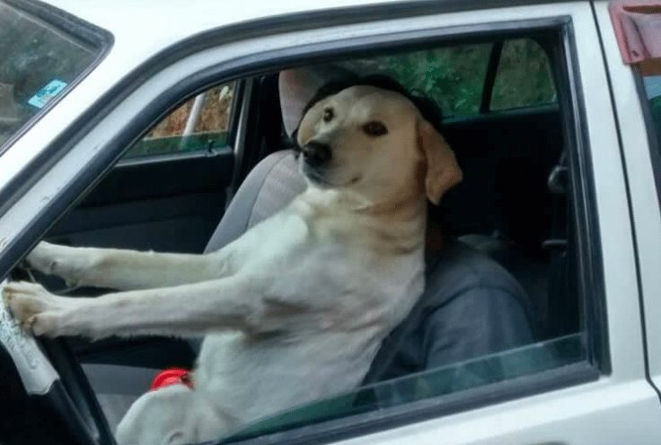 dog driving image