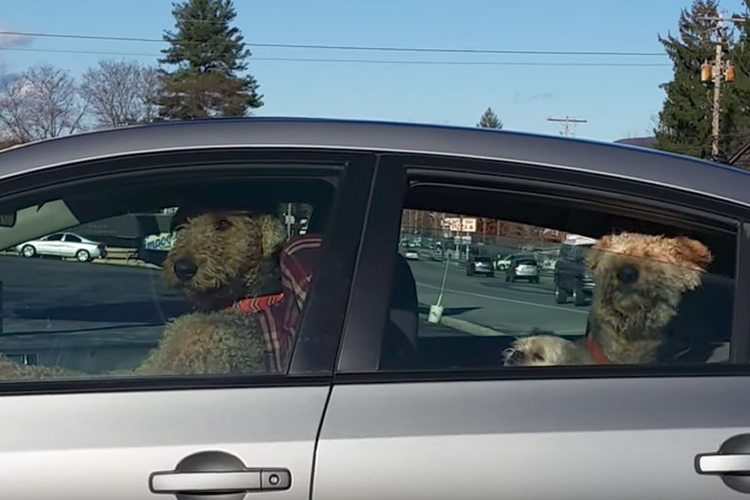 Dog Waiting Impatiently In Car For Owner